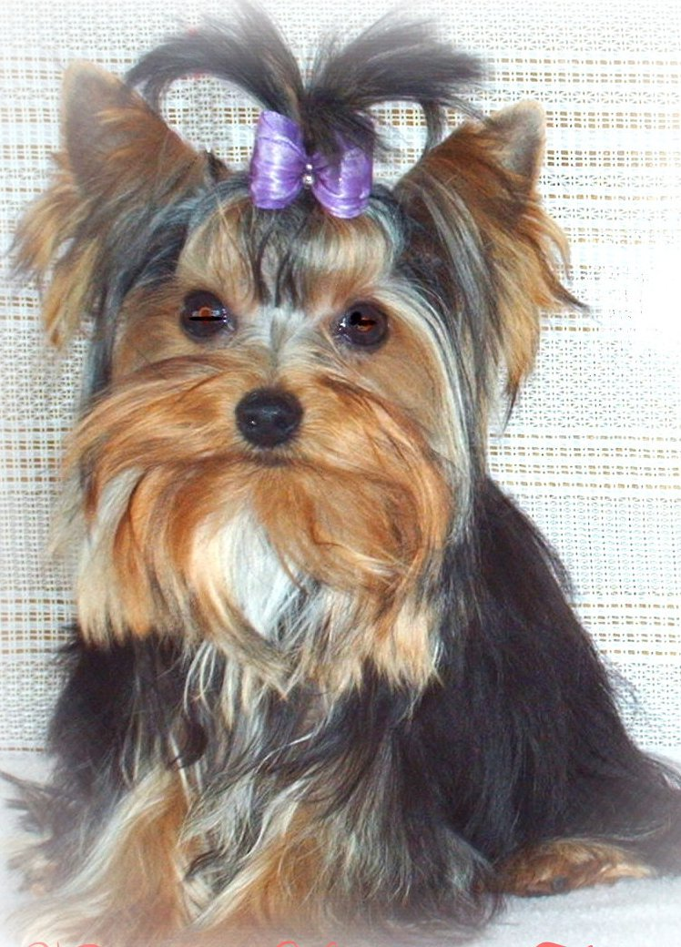yorkie wisconsin minnesota breeder Teacup Yorkie Puppies for