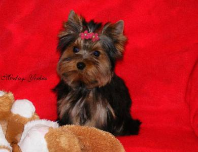 Yorkie Wisconsin Minnesota Breeder Teacup Yorkie Puppies For Sale